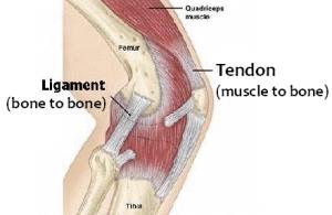 english-vocabulary-tendon-ligament