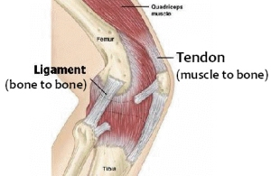english-vocabulary-tendon-ligament